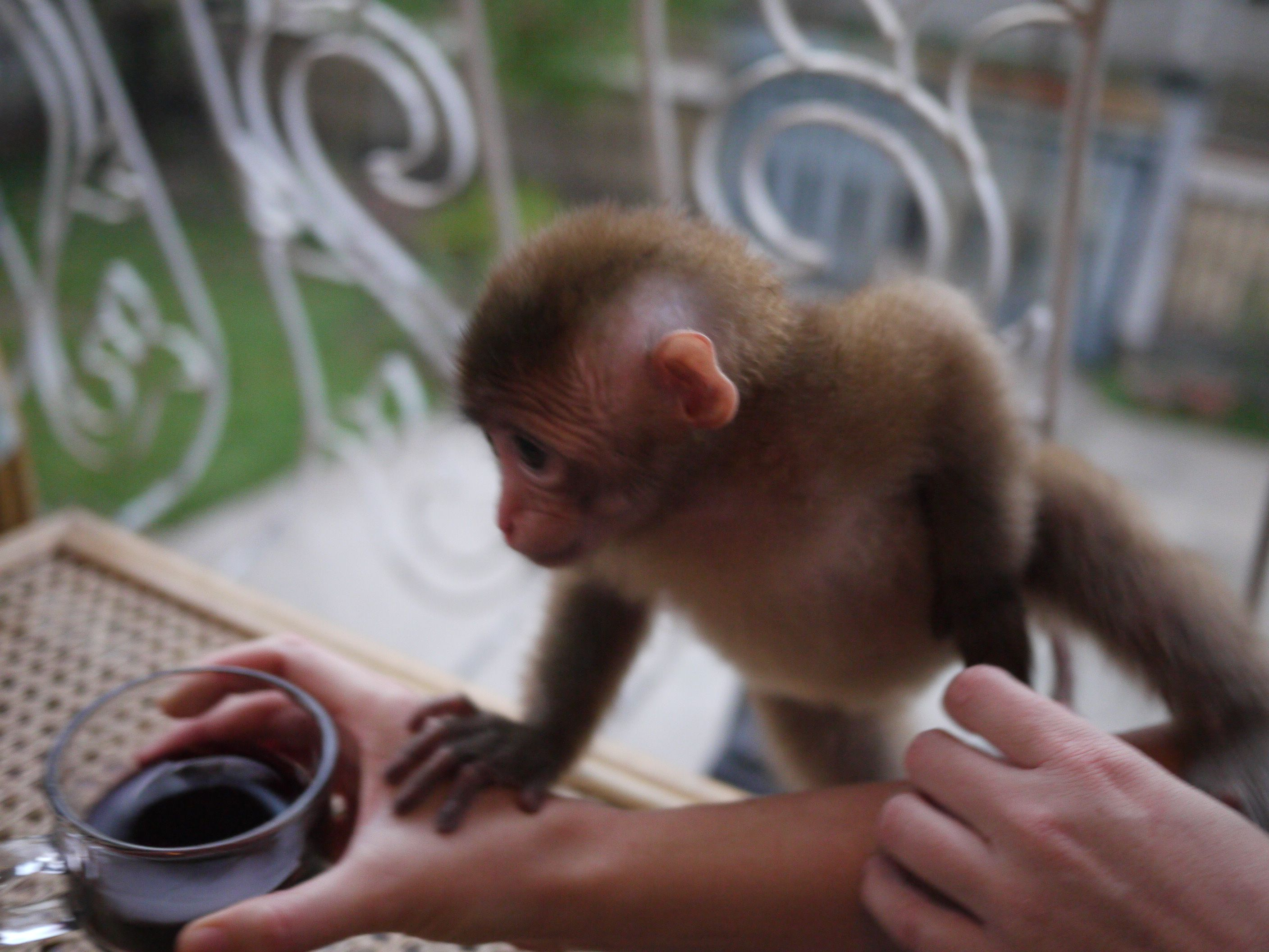 monkeys drinking wine maternity photos and other such